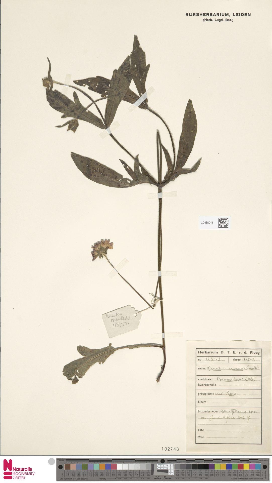 L.2985946 | Knautia arvensis (L.) Coult.