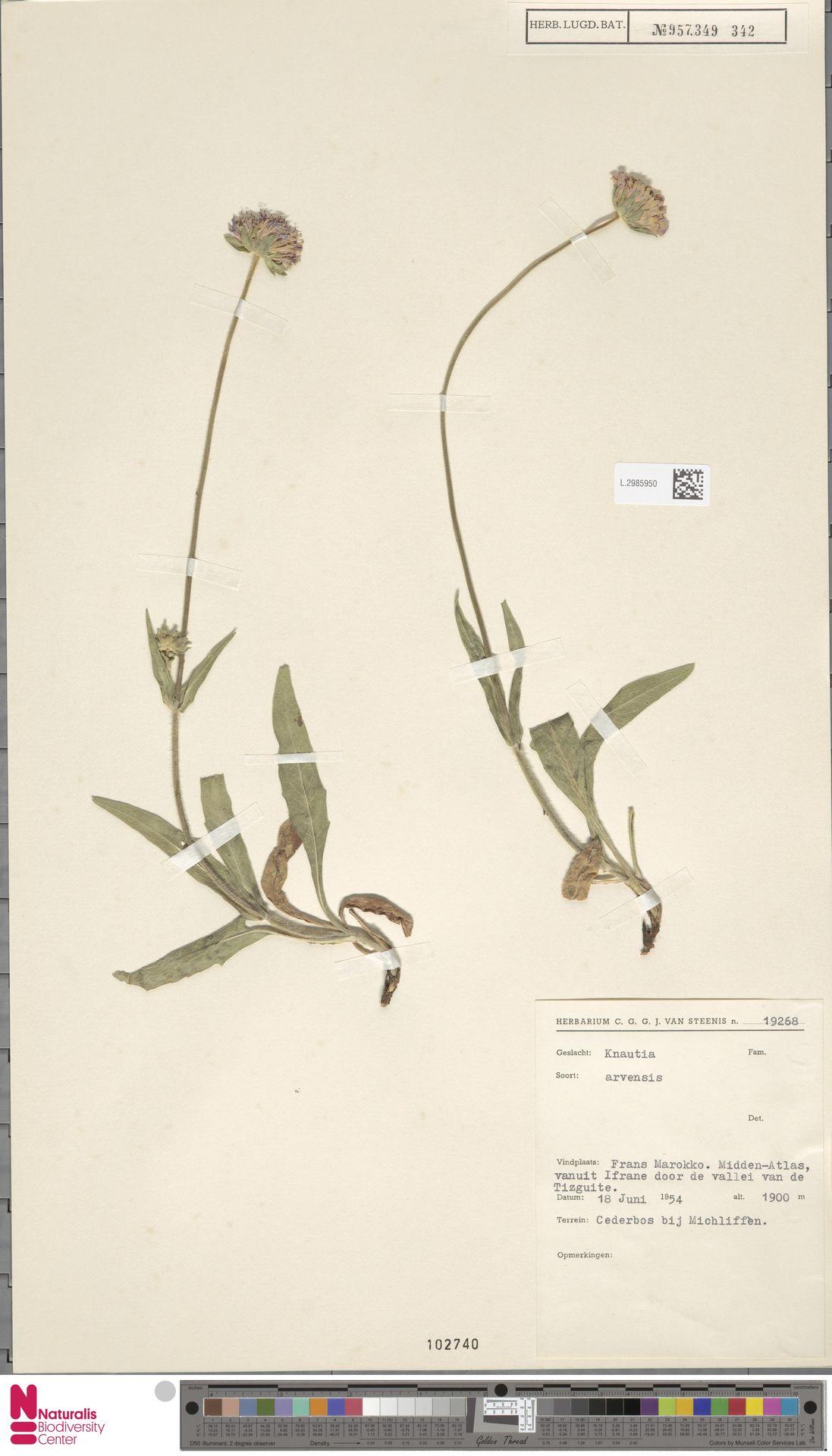 L.2985950   Knautia arvensis (L.) Coult.