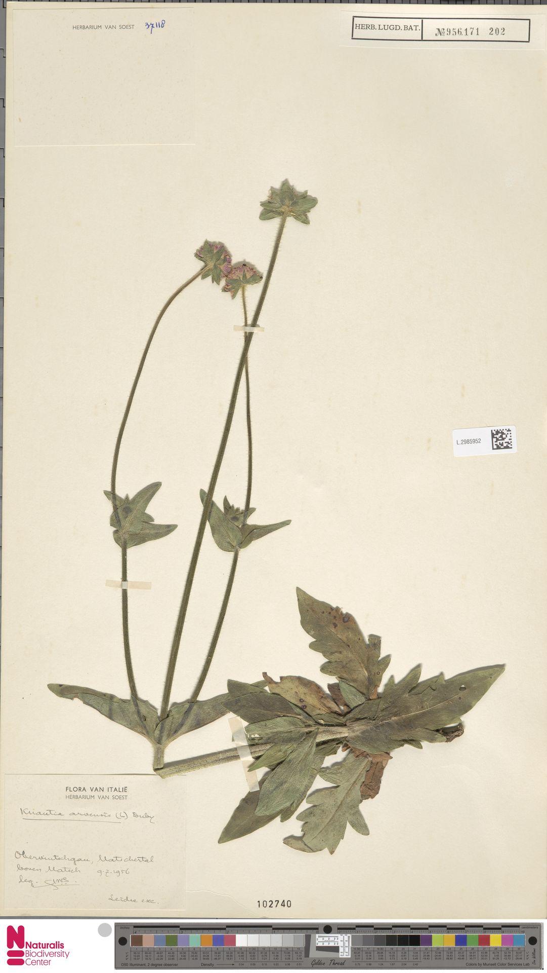 L.2985952 | Knautia arvensis (L.) Coult.