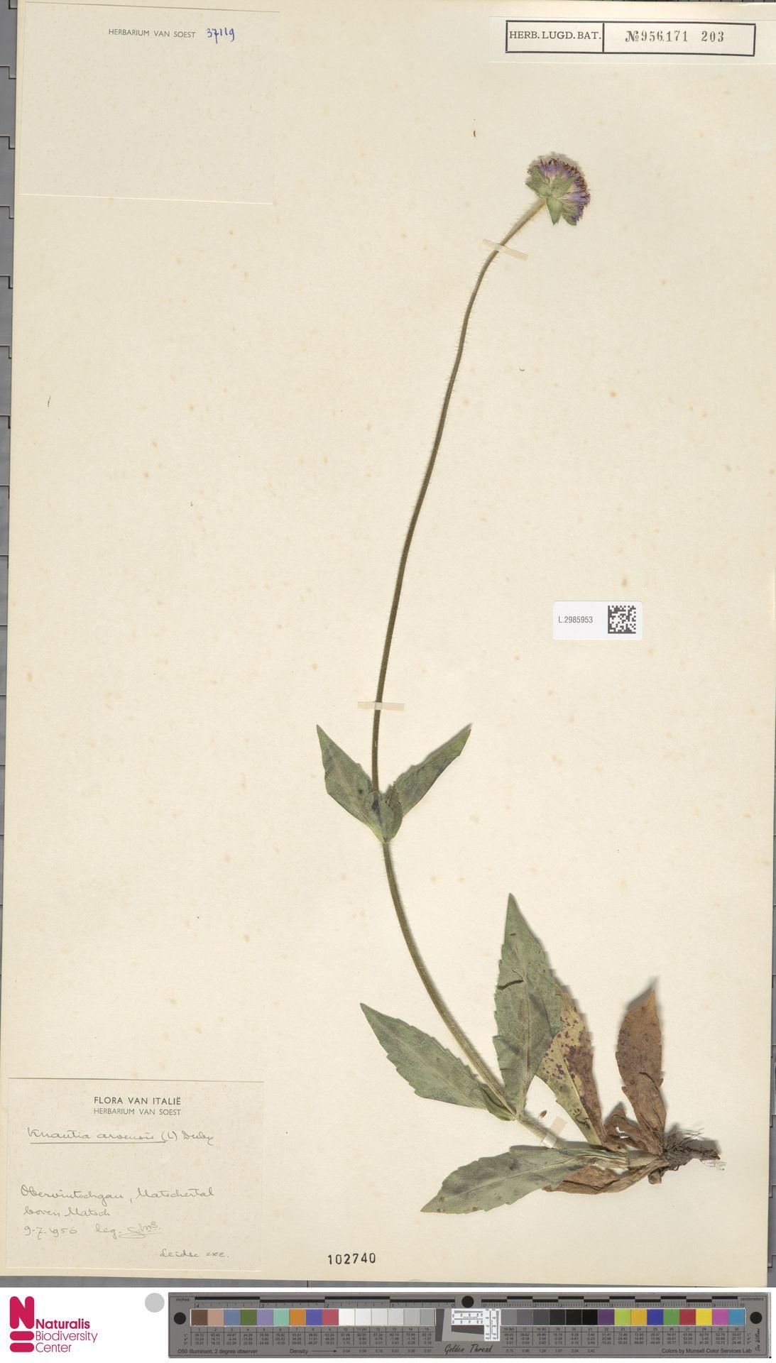 L.2985953 | Knautia arvensis (L.) Coult.