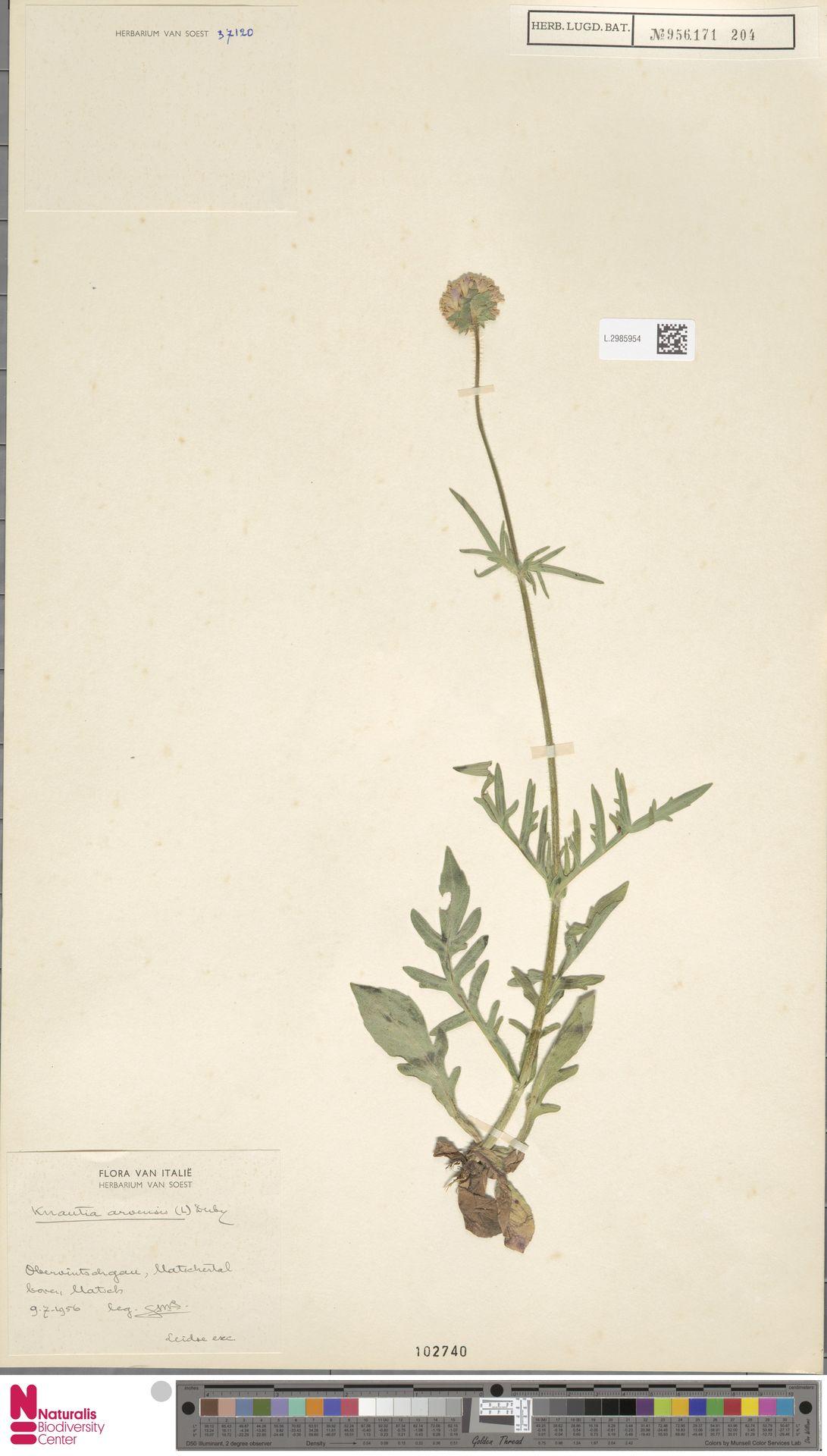 L.2985954 | Knautia arvensis (L.) Coult.