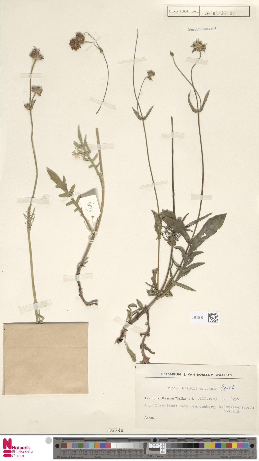 L.2985956 | Knautia arvensis (L.) Coult.