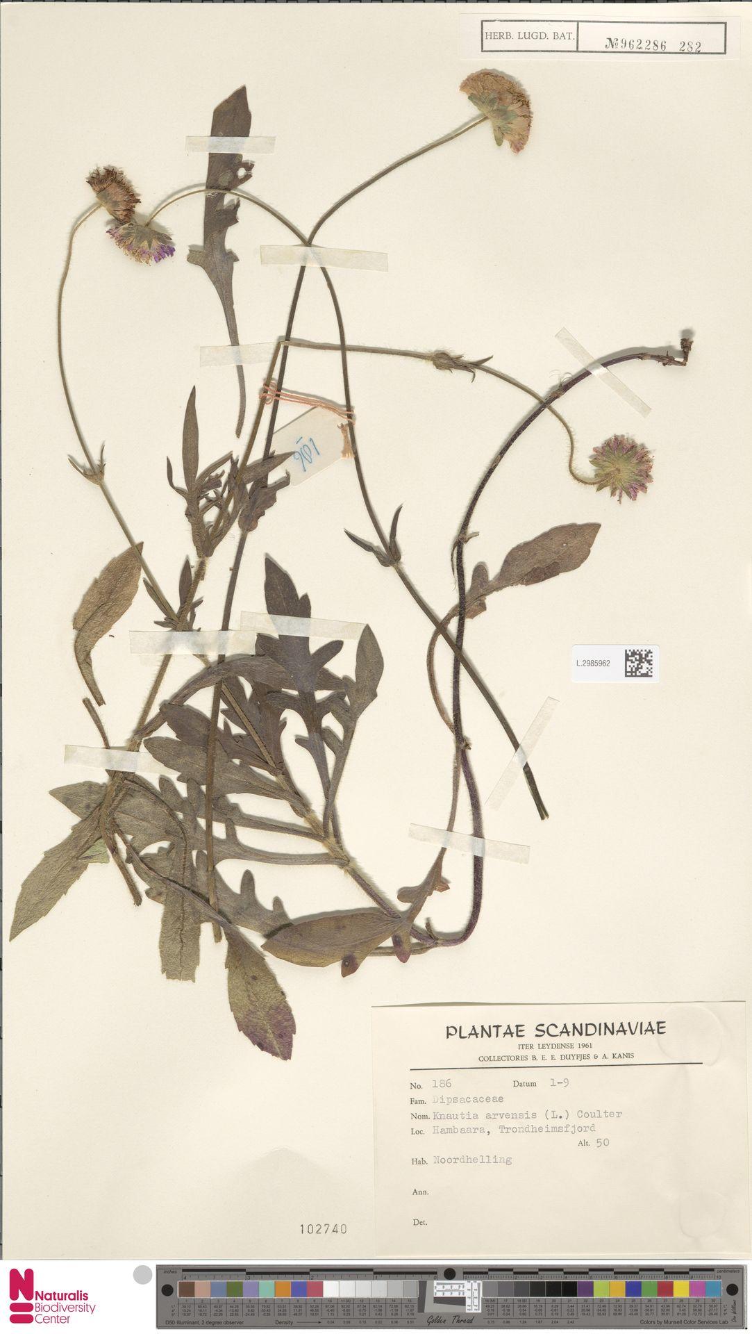L.2985962 | Knautia arvensis (L.) Coult.