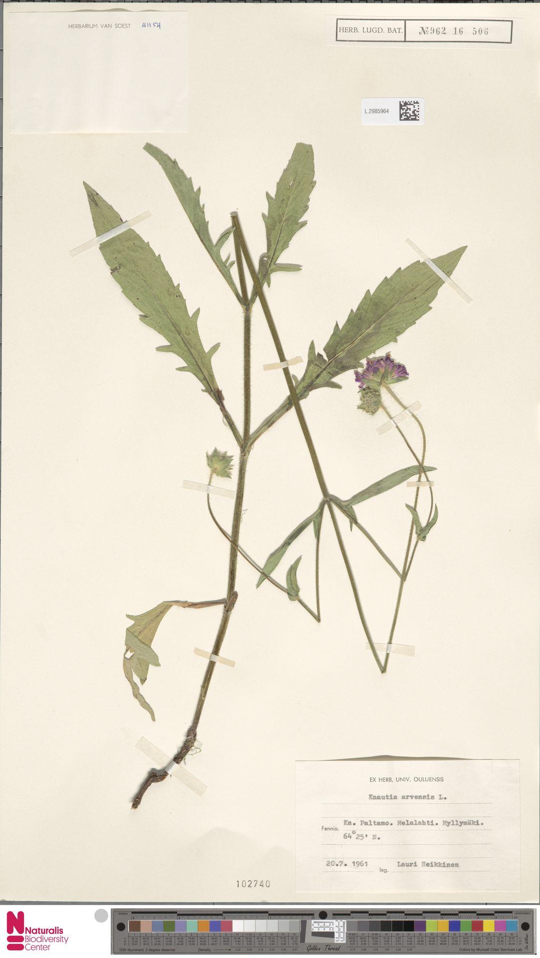 L.2985964 | Knautia arvensis (L.) Coult.