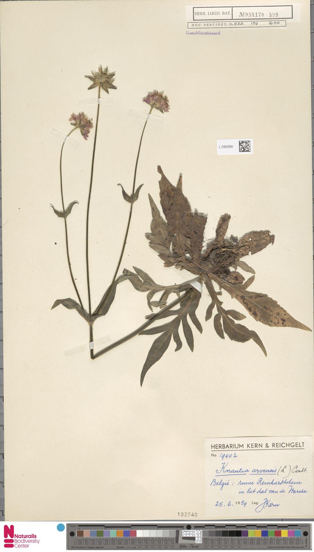 L.2985966 | Knautia arvensis (L.) Coult.
