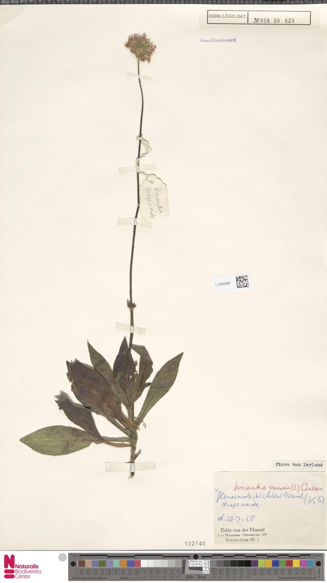 L.2985968 | Knautia arvensis (L.) Coult.