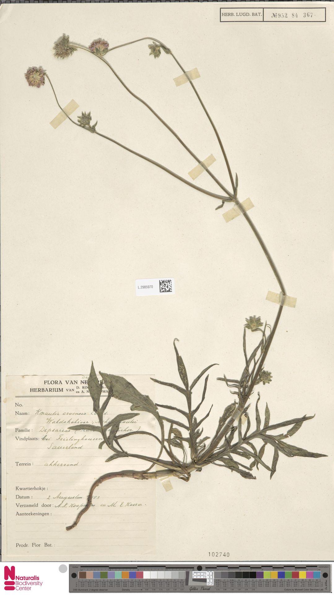 L.2985970 | Knautia arvensis (L.) Coult.