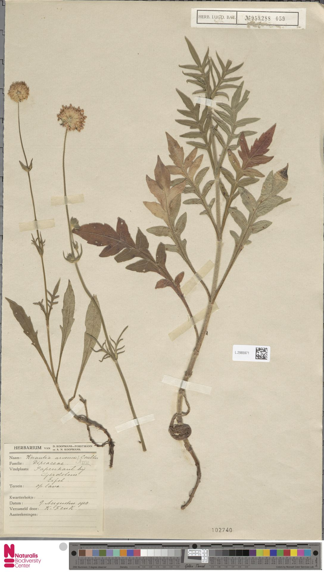 L.2985971   Knautia arvensis (L.) Coult.