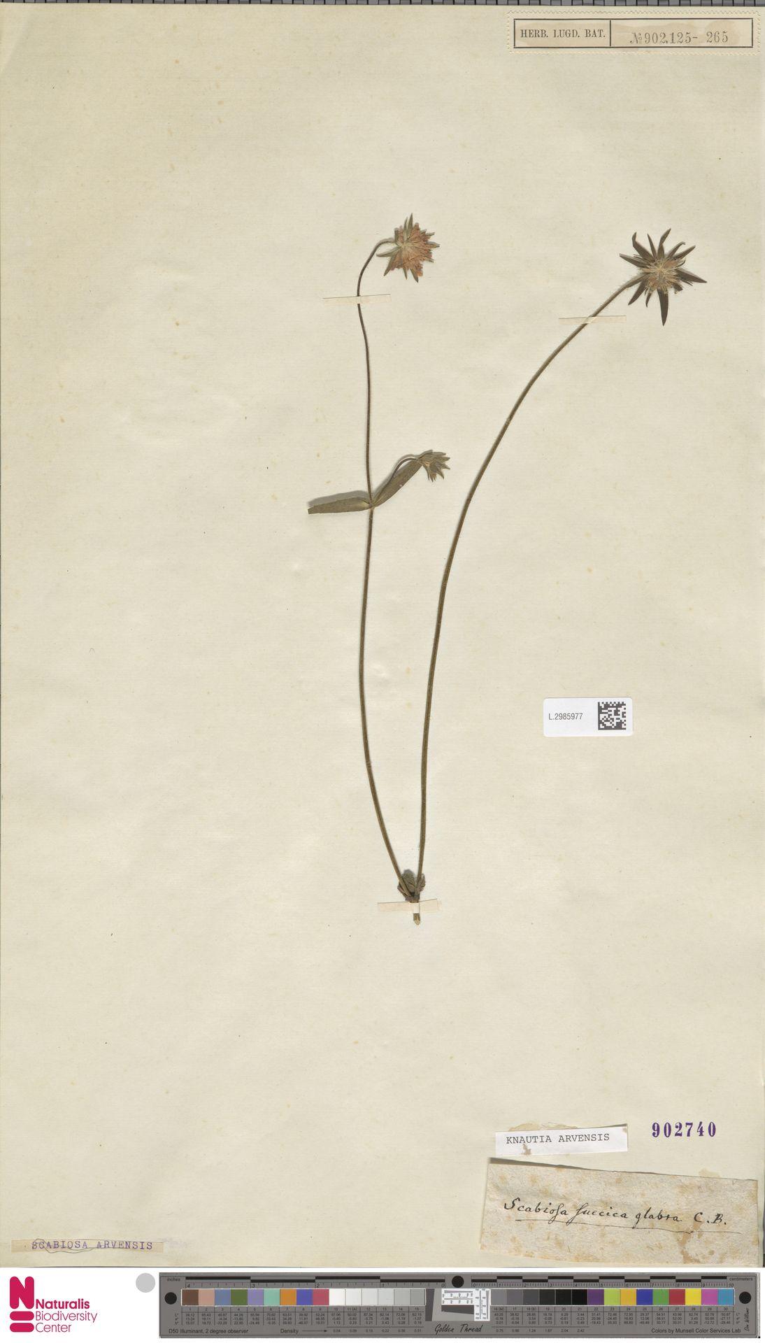 L.2985977 | Knautia arvensis (L.) Coult.