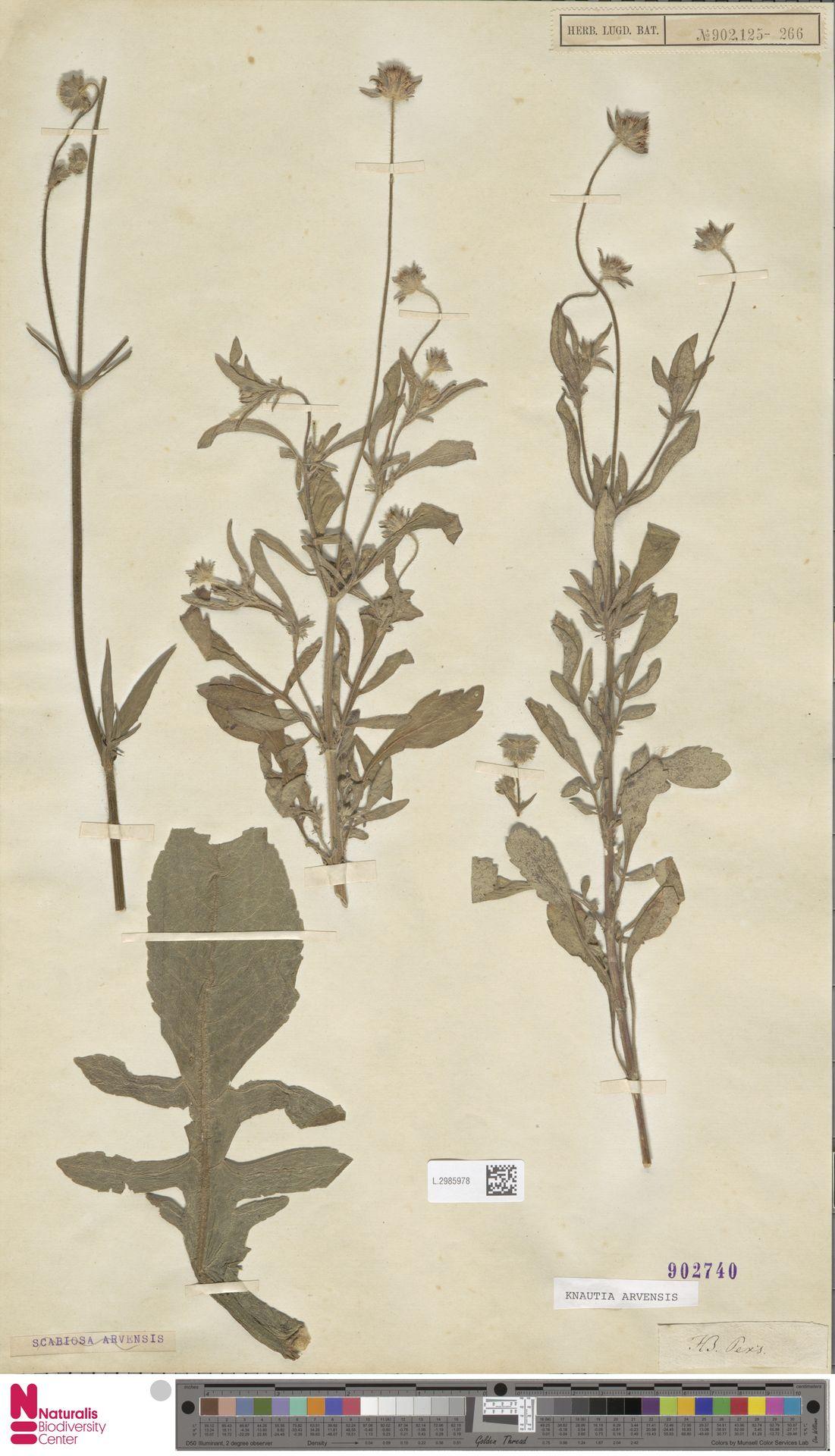 L.2985978 | Knautia arvensis (L.) Coult.