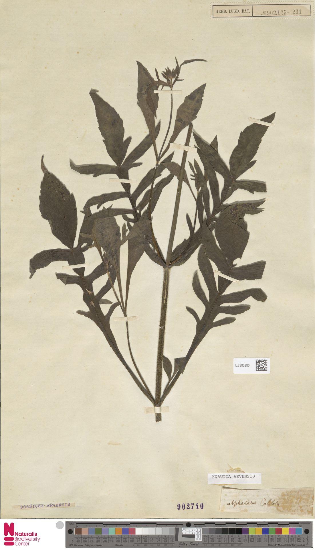L.2985980 | Knautia arvensis (L.) Coult.