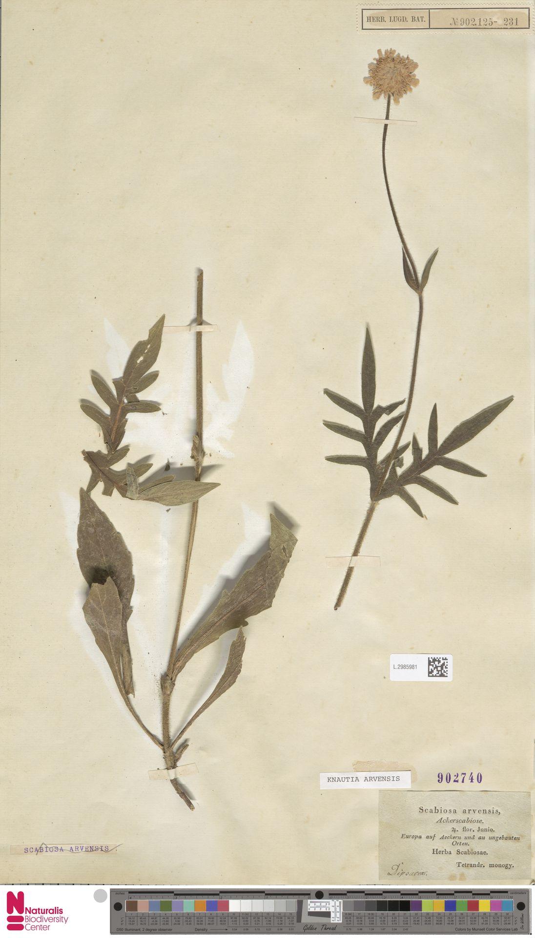 L.2985981 | Knautia arvensis (L.) Coult.