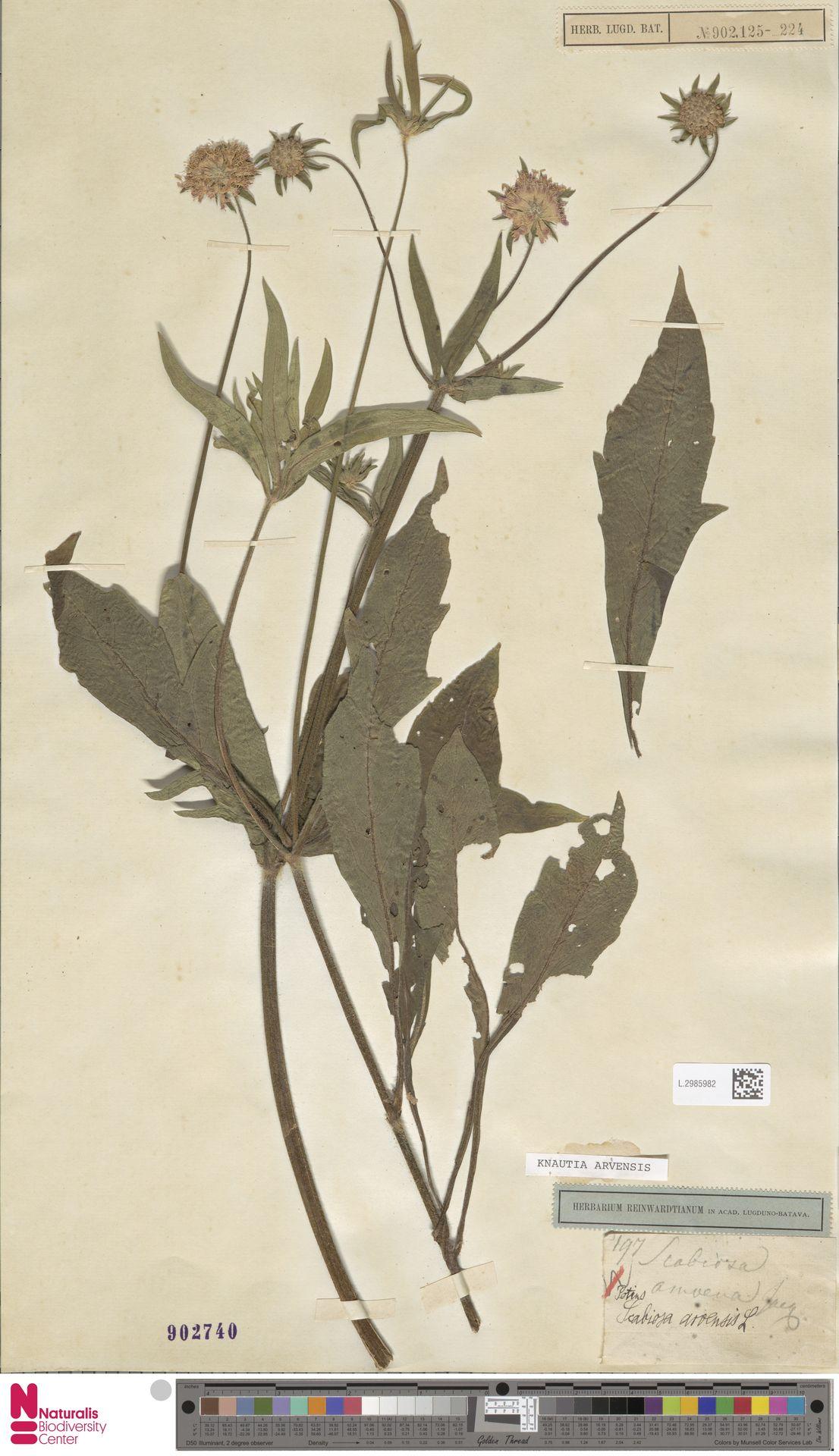 L.2985982 | Knautia arvensis (L.) Coult.