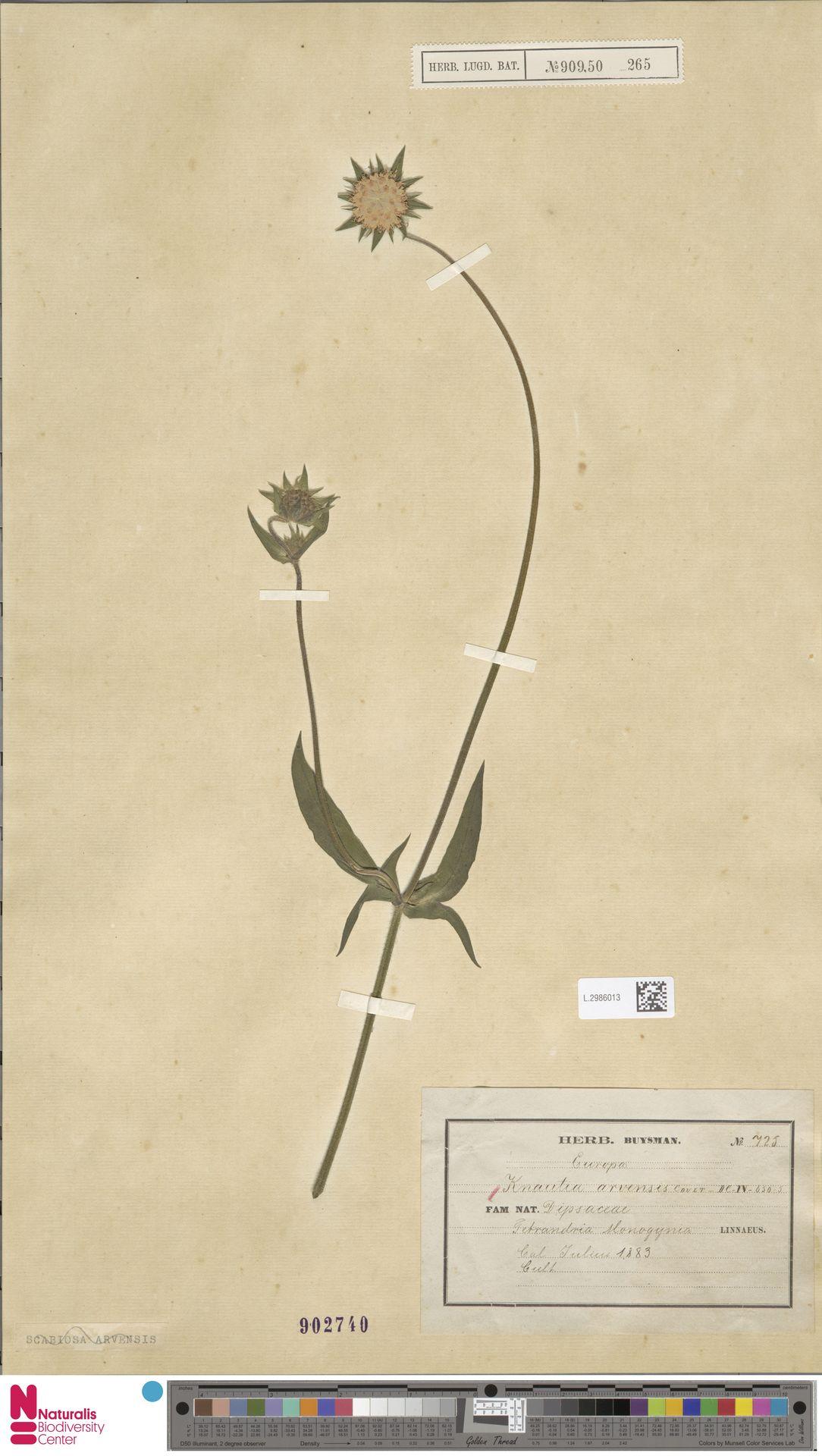 L.2986013 | Knautia arvensis (L.) Coult.