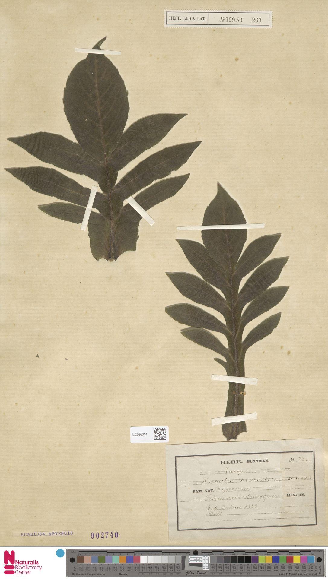 L.2986014 | Knautia arvensis (L.) Coult.