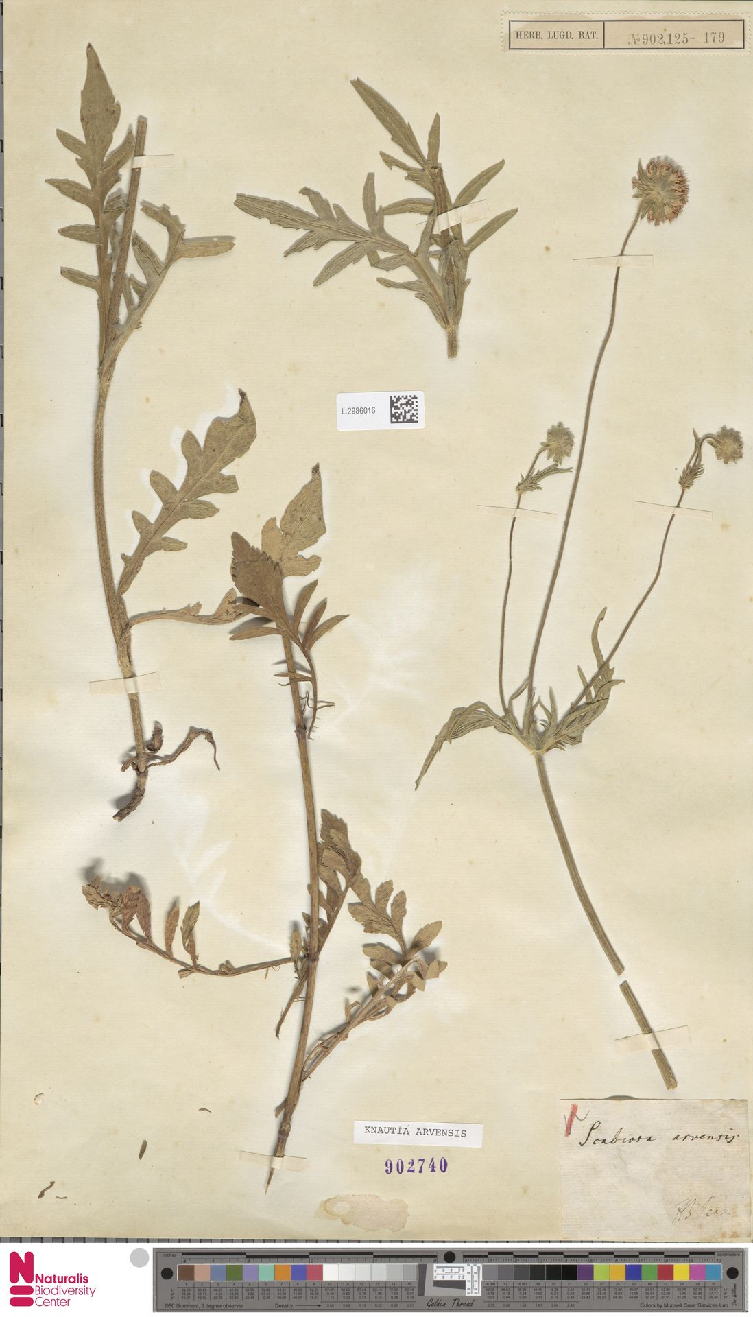 L.2986016 | Knautia arvensis (L.) Coult.