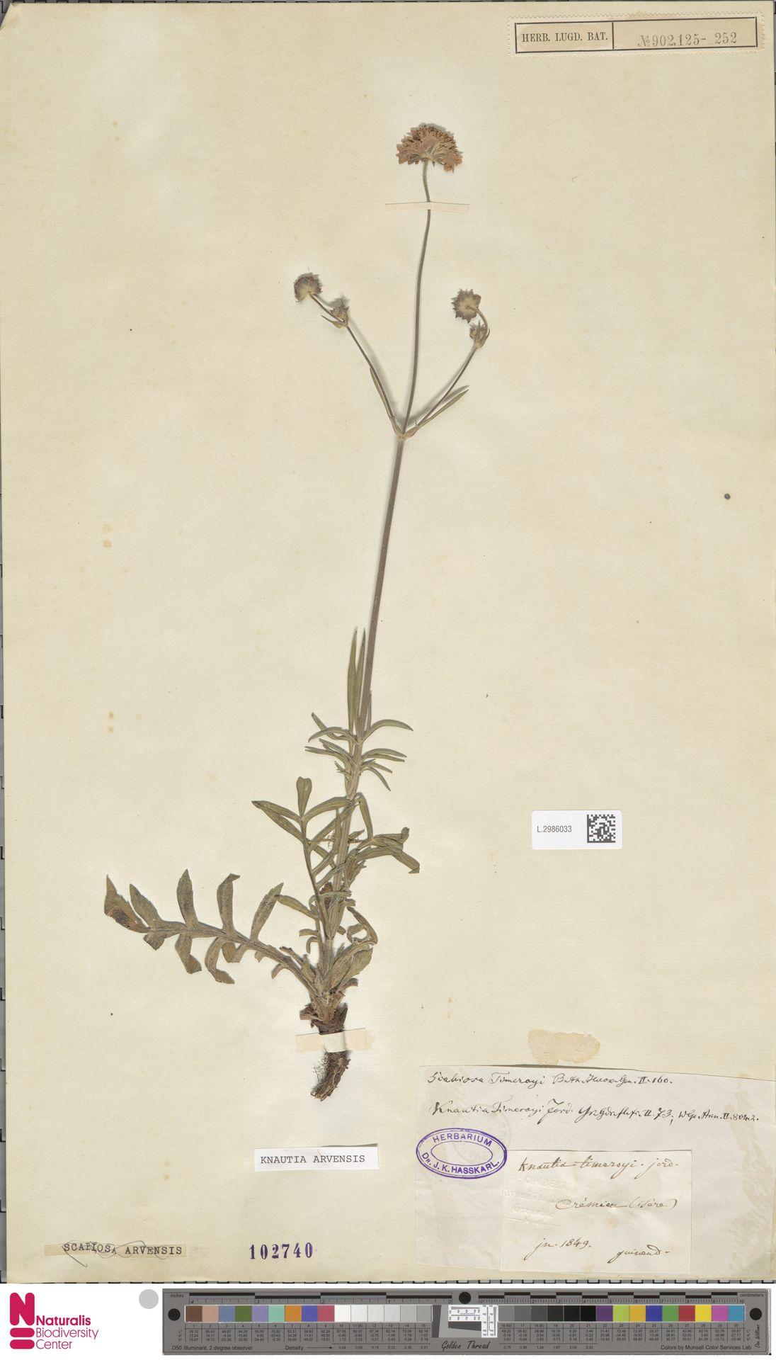 L.2986033 | Knautia arvensis (L.) Coult.