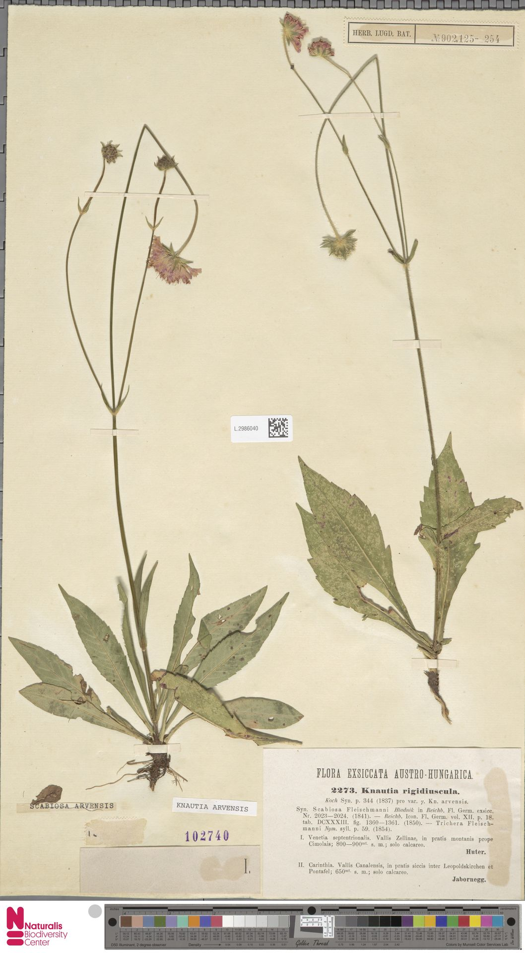 L.2986040 | Knautia arvensis (L.) Coult.