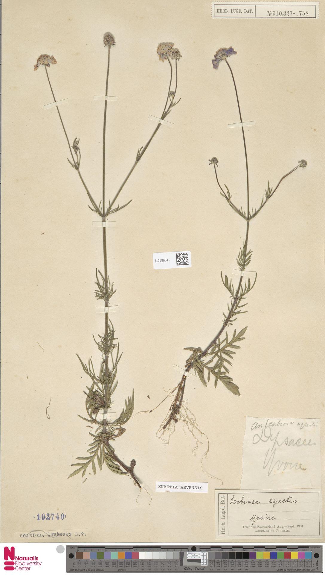 L.2986041 | Knautia arvensis (L.) Coult.