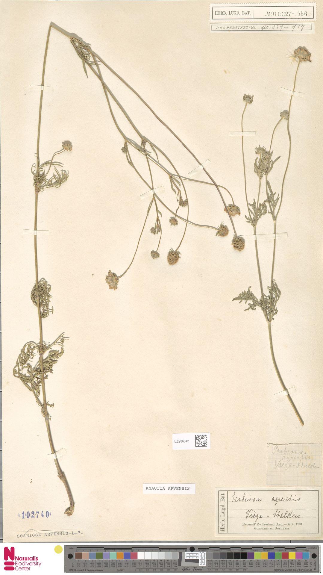 L.2986042   Knautia arvensis (L.) Coult.
