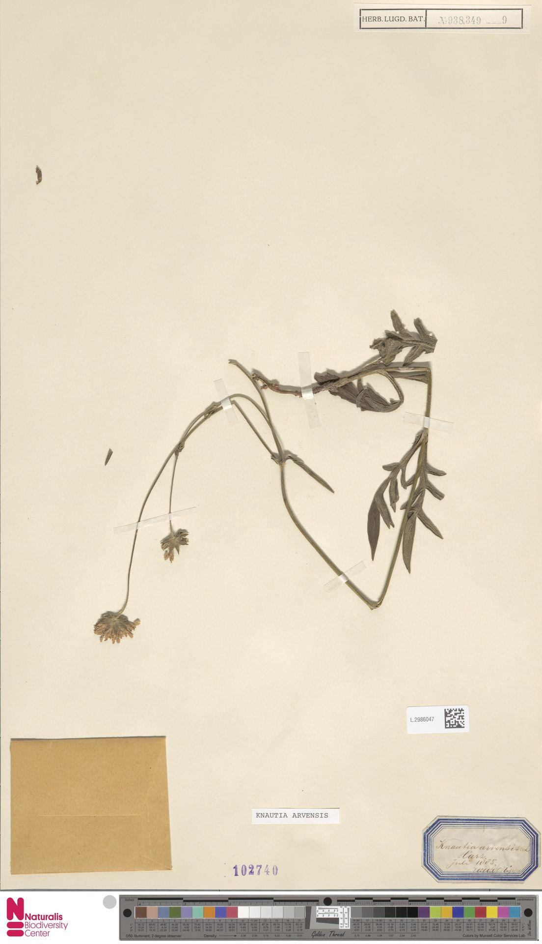 L.2986047 | Knautia arvensis (L.) Coult.