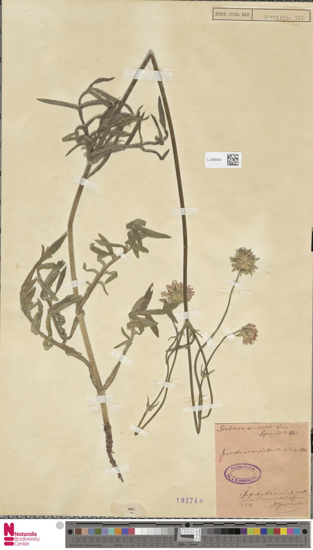 L.2986050 | Knautia arvensis (L.) Coult.