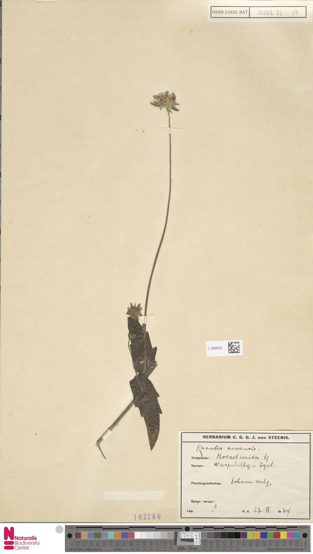 L.2986052 | Knautia arvensis (L.) Coult.