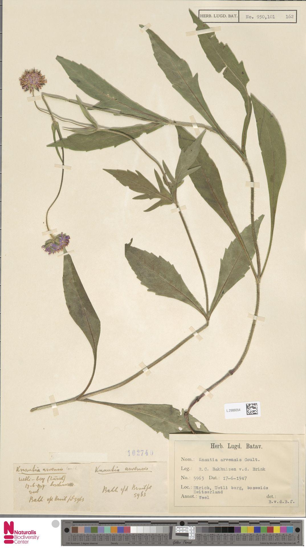 L.2986054 | Knautia arvensis (L.) Coult.