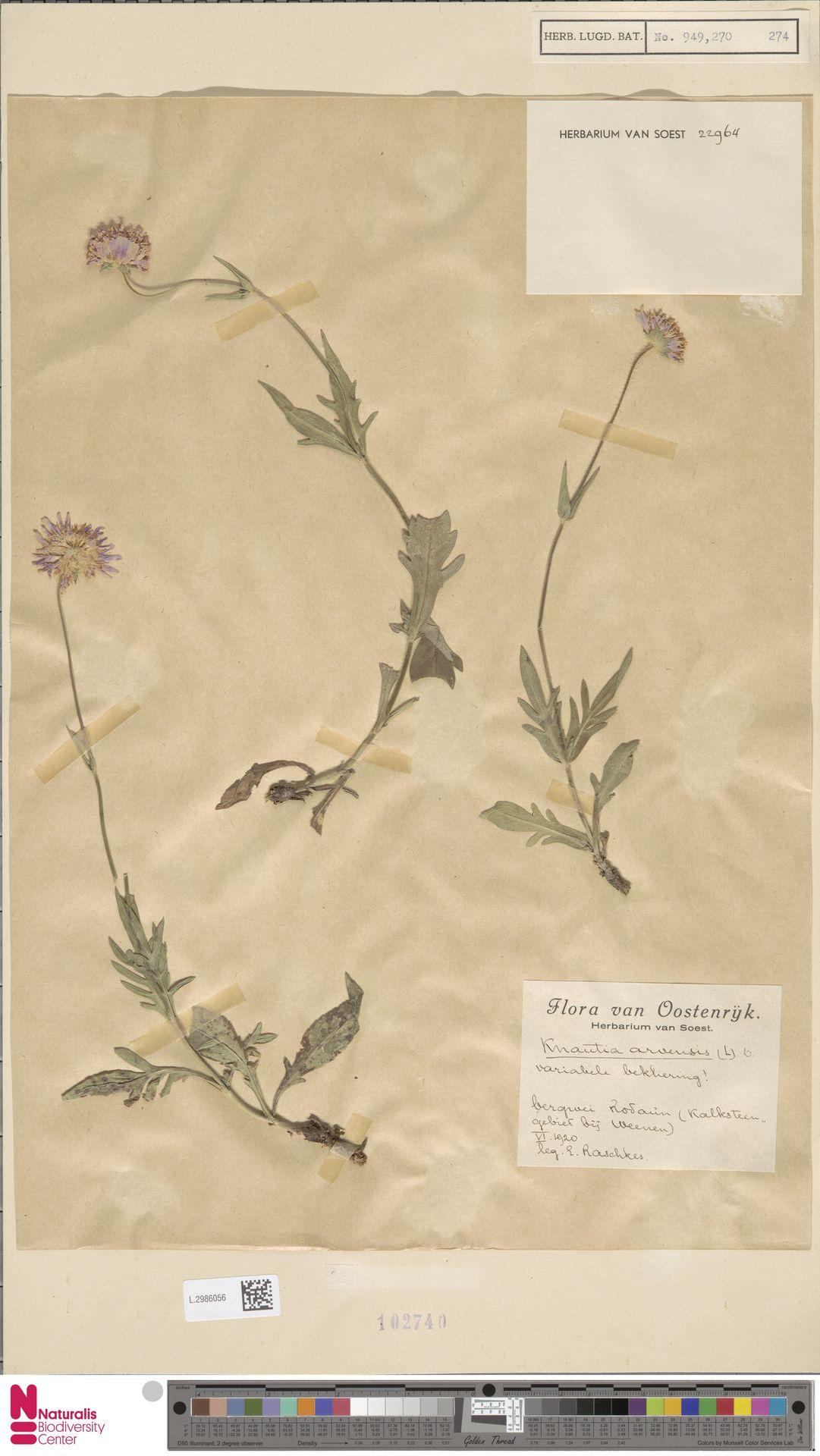 L.2986056 | Knautia arvensis (L.) Coult.