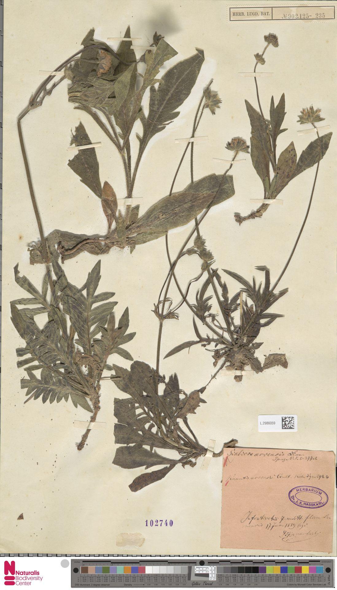 L.2986059   Knautia arvensis (L.) Coult.