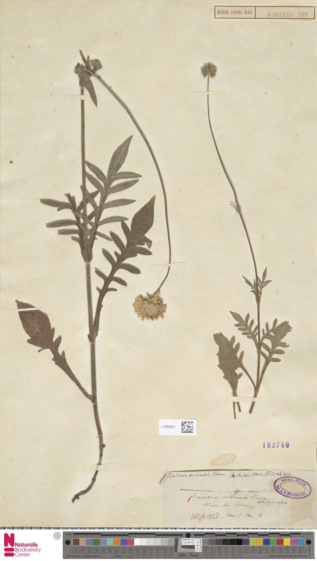 L.2986061   Knautia arvensis (L.) Coult.