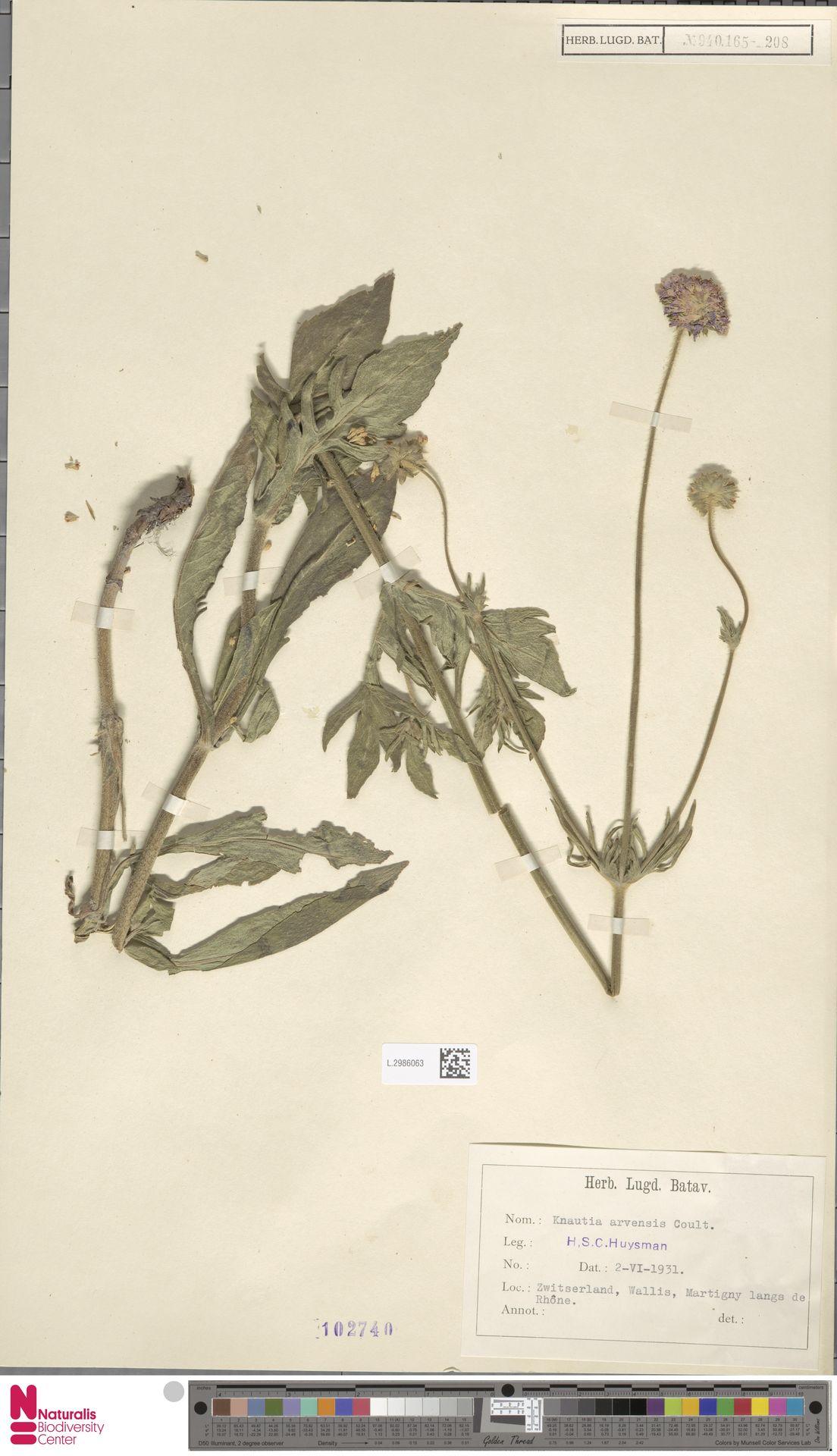 L.2986063 | Knautia arvensis (L.) Coult.