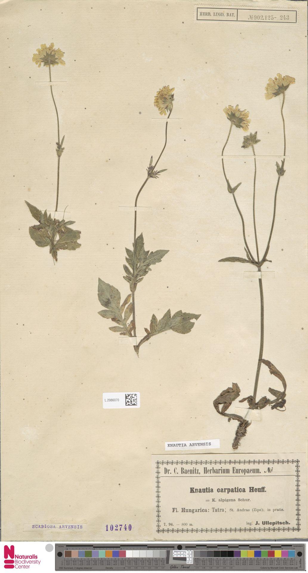 L.2986070 | Knautia arvensis (L.) Coult.
