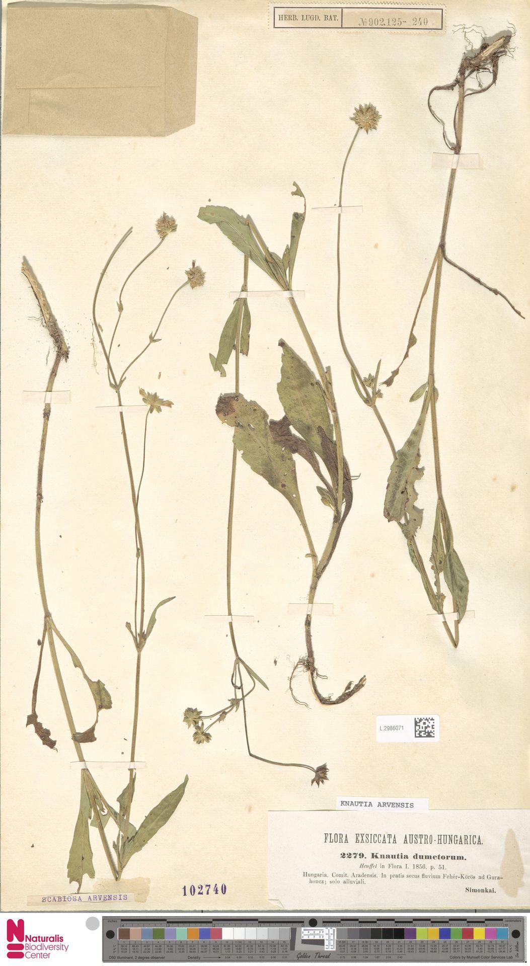L.2986071 | Knautia arvensis (L.) Coult.