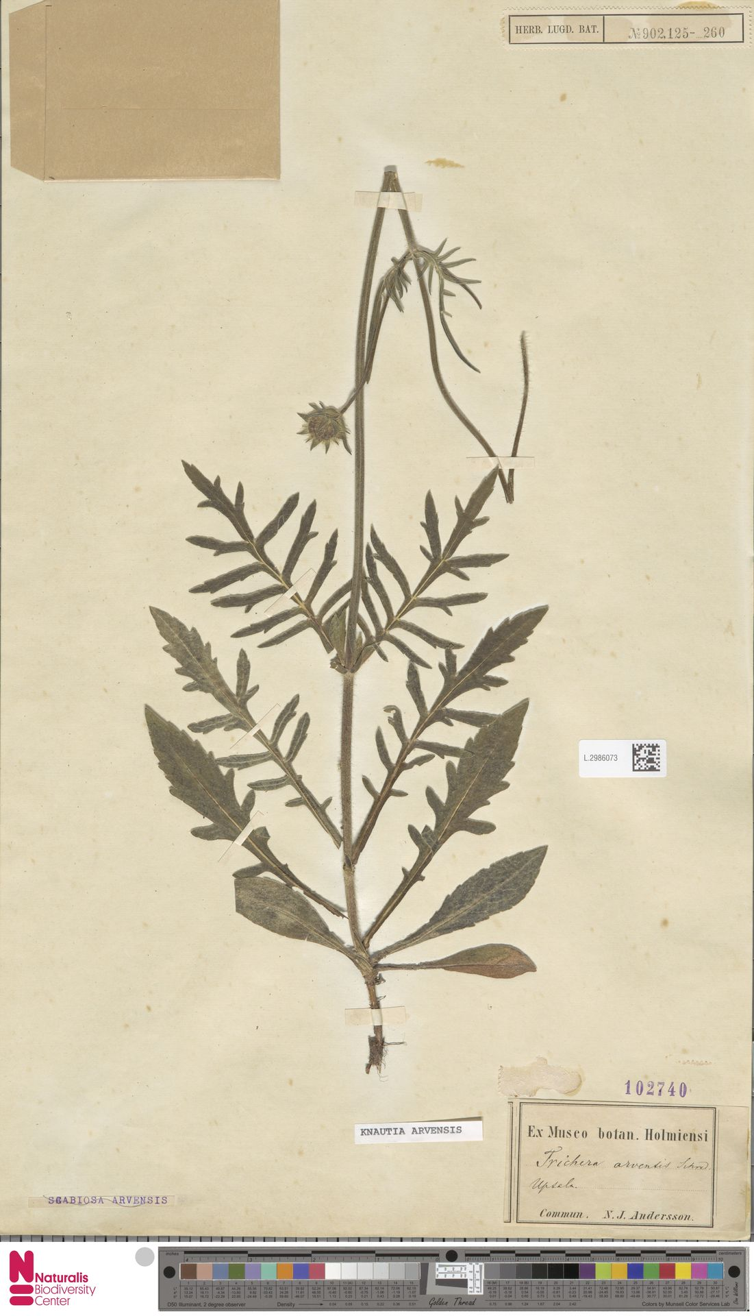 L.2986073 | Knautia arvensis (L.) Coult.