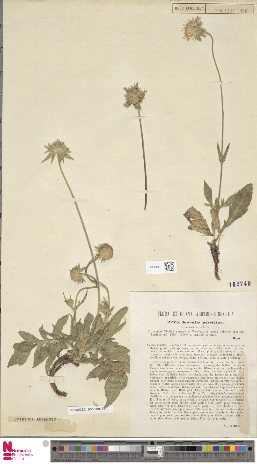 L.2986075 | Knautia arvensis (L.) Coult.