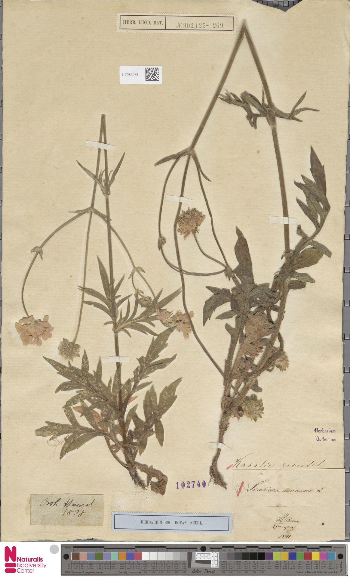 L.2986078 | Knautia arvensis (L.) Coult.