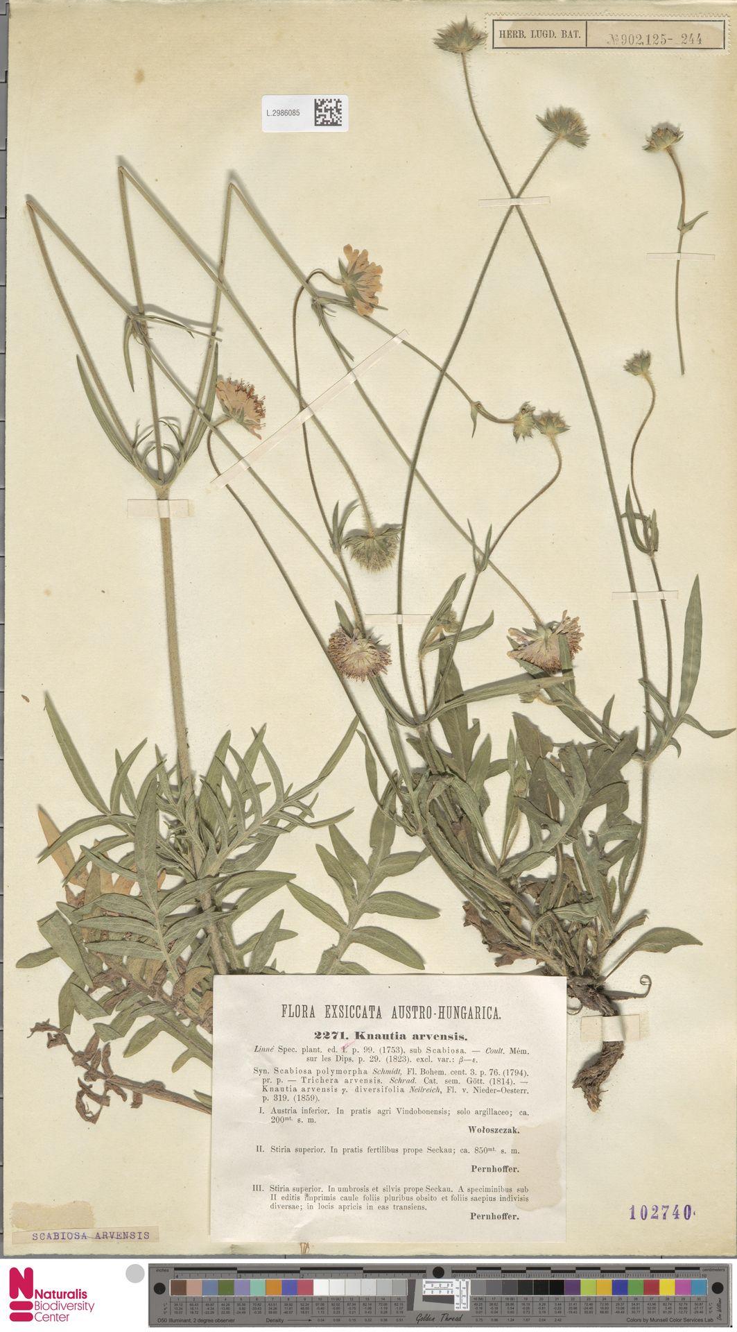 L.2986085 | Knautia arvensis (L.) Coult.