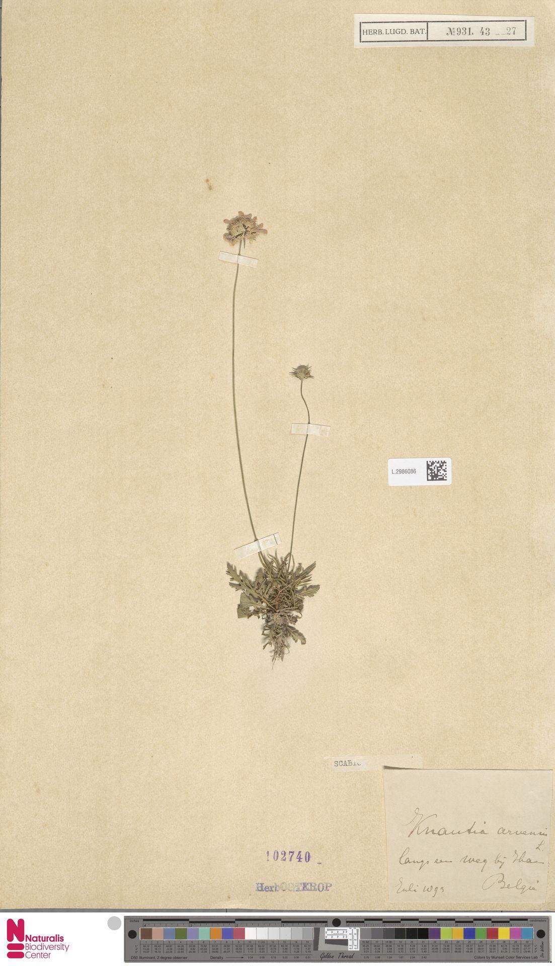 L.2986086 | Knautia arvensis (L.) Coult.