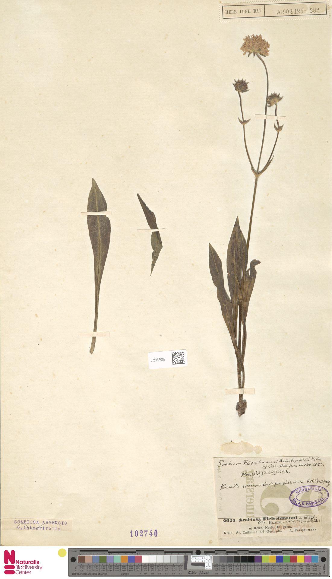 L.2986087 | Knautia arvensis (L.) Coult.