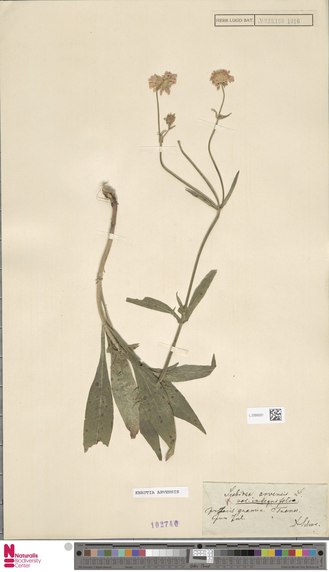 L.2986091 | Knautia arvensis (L.) Coult.