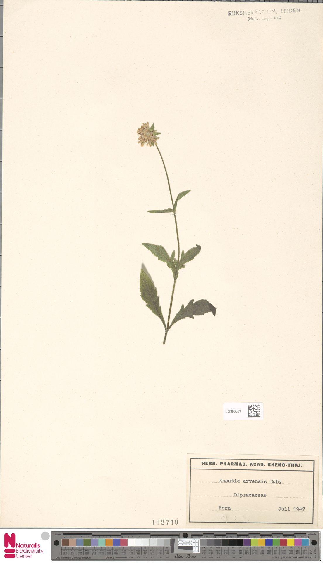 L.2986099 | Knautia arvensis (L.) Coult.