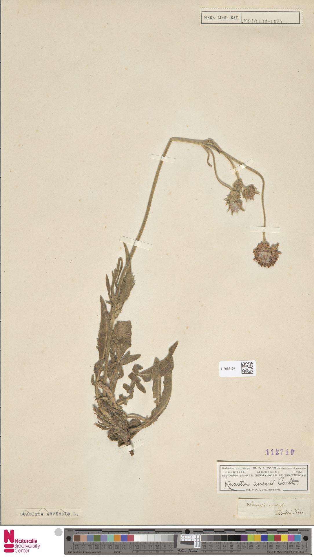 L.2986107 | Knautia arvensis (L.) Coult.