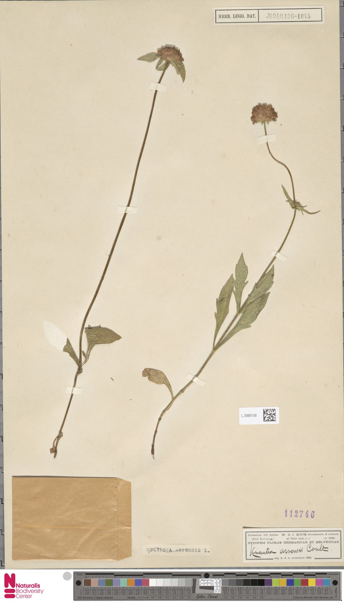 L.2986108 | Knautia arvensis (L.) Coult.