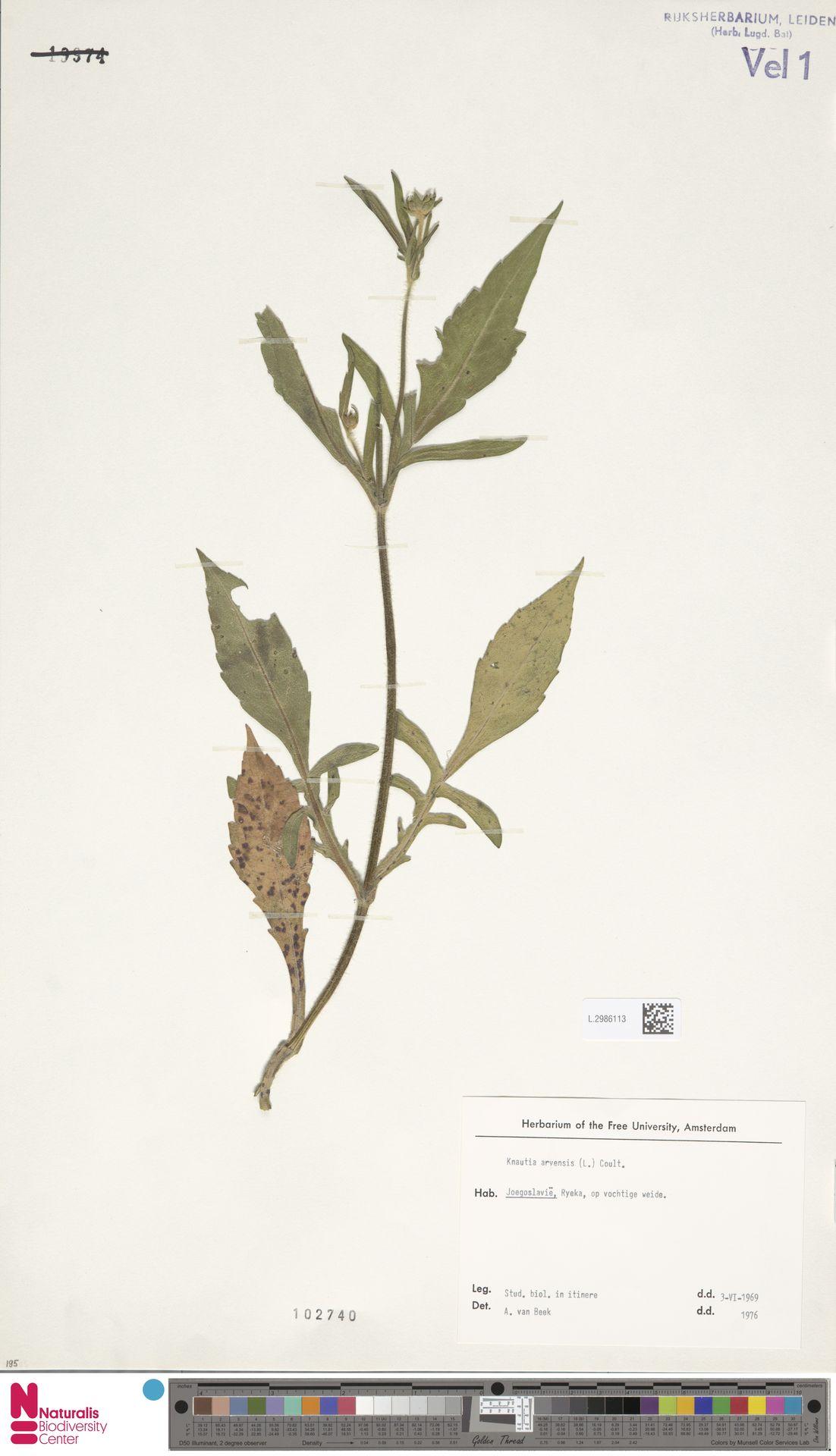 L.2986113 | Knautia arvensis (L.) Coult.