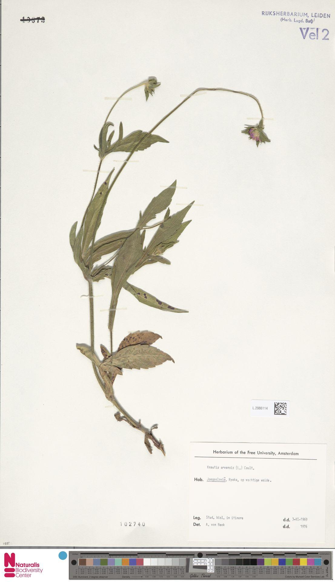 L.2986114 | Knautia arvensis (L.) Coult.