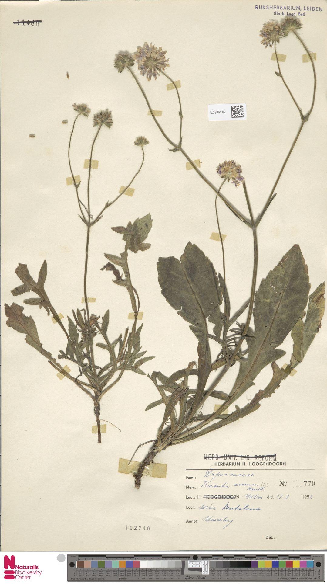 L.2986116 | Knautia arvensis (L.) Coult.