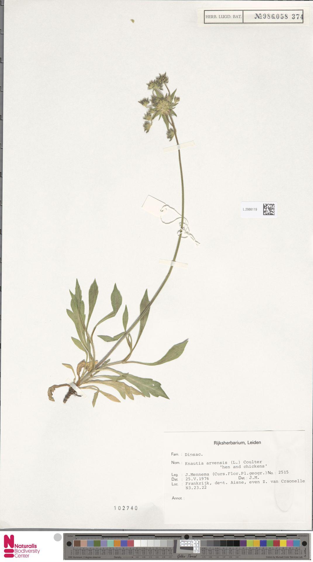 L.2986119   Knautia arvensis (L.) Coult.