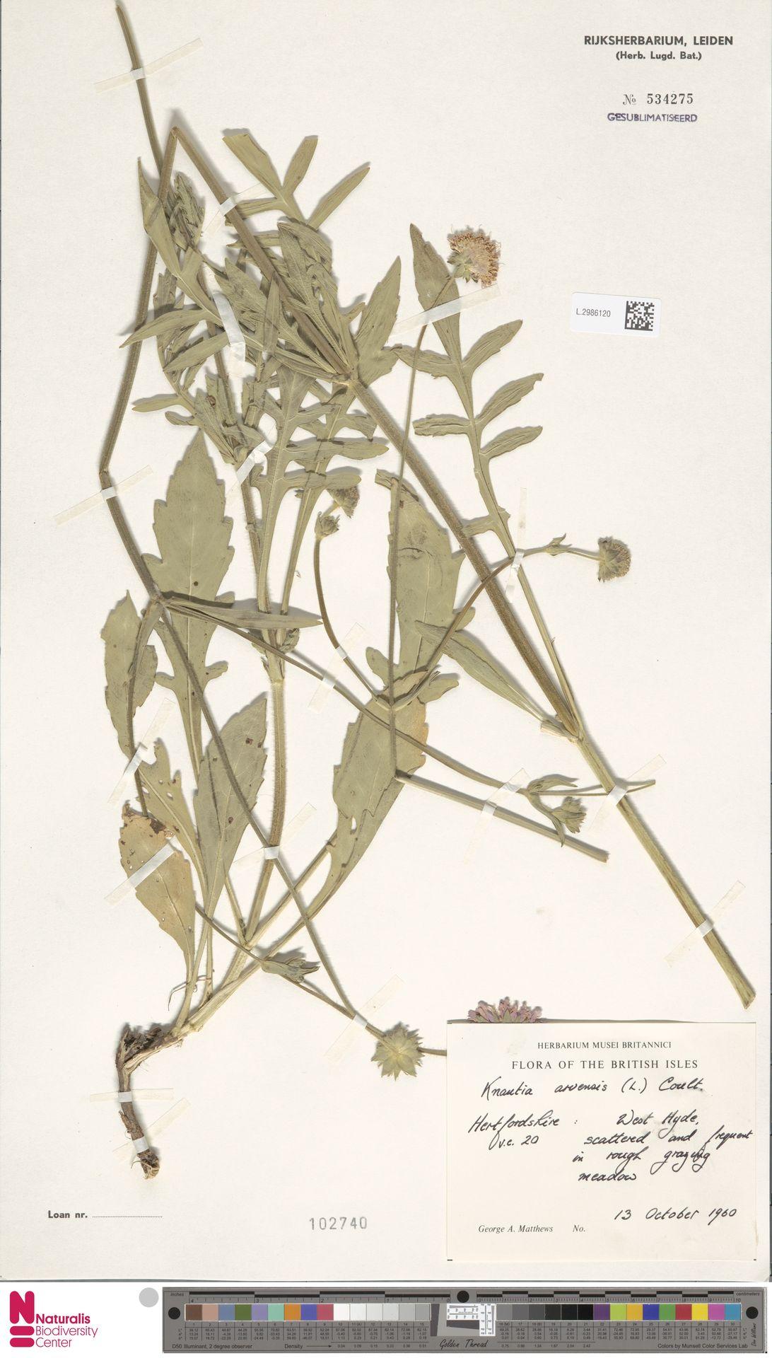 L.2986120 | Knautia arvensis (L.) Coult.