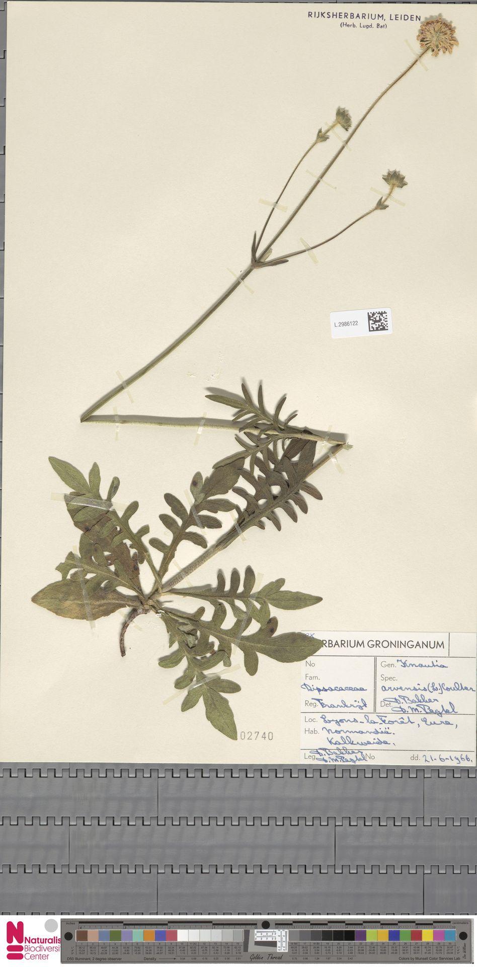 L.2986122 | Knautia arvensis (L.) Coult.